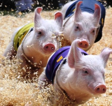 Pig Races at Stars &amp; Stripes Days